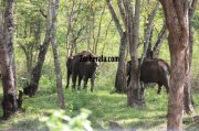 Elephant herds in wayanad wildlife sanctury 9 774