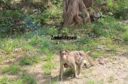 Monkey with its child at wayand sanctury 917