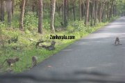 Monkeys on road wayanad sanctury 44