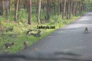 Monkeys on road wayanad sanctury 44