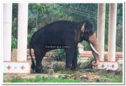 Elephant at ambalapuzha temple 3