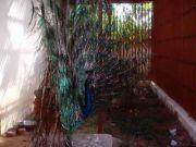 Haripad temple peacock 58