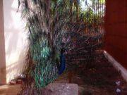Haripad temple peacock 59