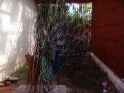 Haripad temple peacock 60