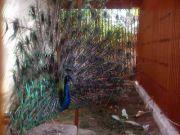 Haripad temple peacock 61