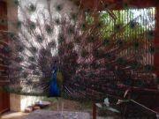 Haripad temple peacock 62