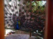 Haripad temple peacock 63