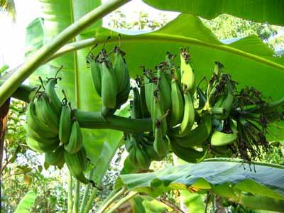 Banana 1948