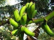 Banana 1951