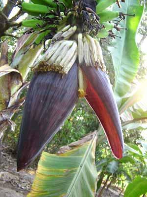 Banana 1953