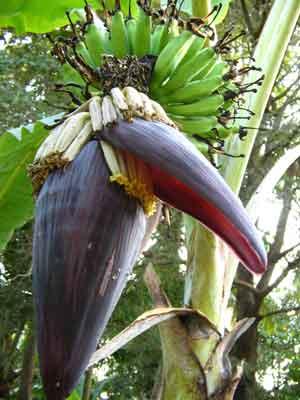 Banana 1954