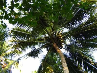 Coconut 1948