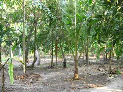 Coconut 1949