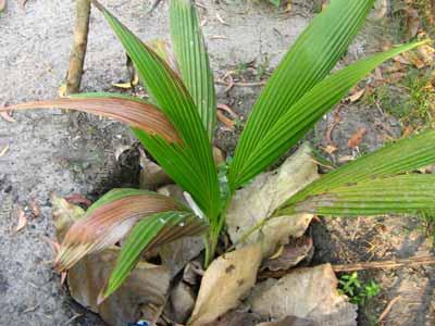 Coconut 1950