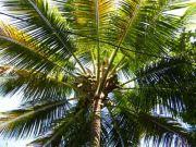 Coconut 1951
