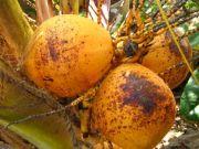 Coconut 1953