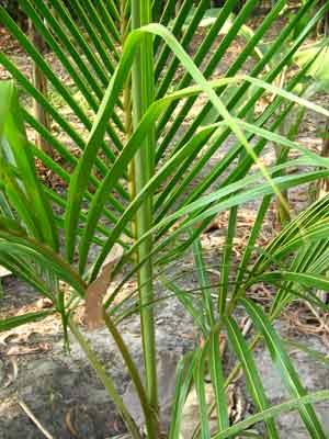 Coconut 1955