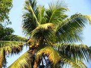 Coconut 1956