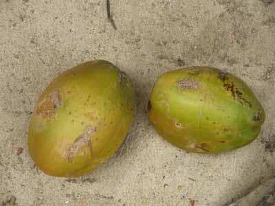 Coconut 1957