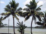 Coconut trees 6056