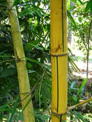 Bamboo 2013