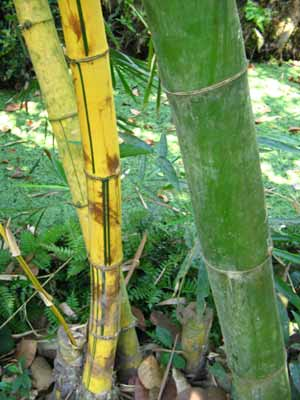 Bamboo 2015