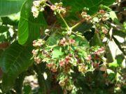Cashew nut 1761