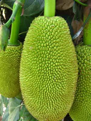Jackfruit 2229
