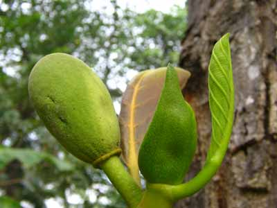 Jackfruit 2230