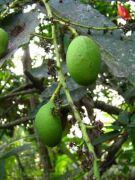 Mango 1962